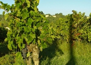 Vines in their summer lushness